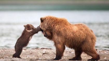 wildlife-bear
